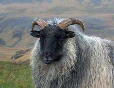 Icelandic sheep.