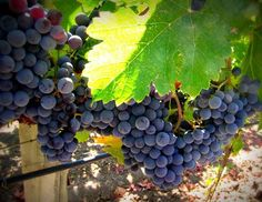 Napa Cellars Merlot patiently waiting to be picked. #napaharvest #harvest2013 #napavalley