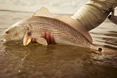 redfish fli fish, camp, red fish, outdoor life, redfish