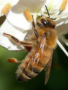 *Honeybee