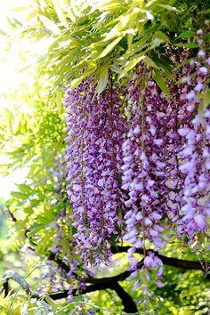 Wisteria Flowers - I like the way they hang and I like the color.