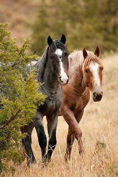 ..Wild horses in Theodore Roosevelt National Park, North Dakota..