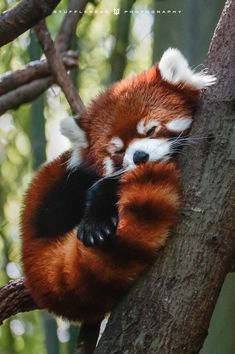 My absolutely favorite animal at the zoo!!!!! Red Panda.. I just love how they sleep......