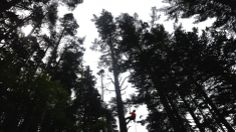 This champion Scots Pine at Cragside is the UK's tallest at 40 metres. That's the height of a stack of ten double decker buses