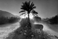 Ferdinando Scianna YEMEN. Hadramouth, Shibam. Donkey under a palm tree. 1999. Magnum Photos Photographer Portfolio