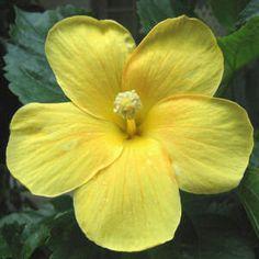 HAWAIʻI STATE FLOWER — Native Yellow Hibiscus