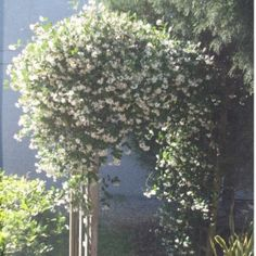 White Star Jasmine
