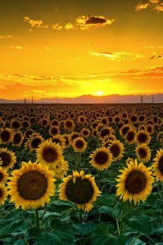 sky, sunflowers, sunset, sunris, places, yellow, garden, photography, fields