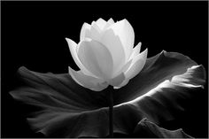 Low Key White lotus Flower in Black and White by Bahman Farzad