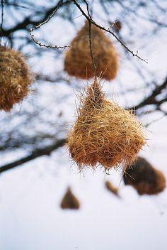 Weaver bird nests    Weaver bird nests in Tsavo, Kenya  Dave O'Neill
