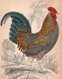 1830s Chicken Print Rooster Wild Bird Steel by NGArtPrints on Etsy, $75.00
