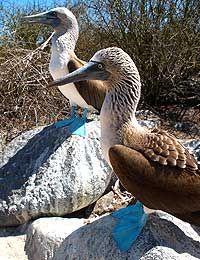 Blue-footed Boobies, Hood Island, Galapagos