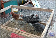 Raising City Chickens