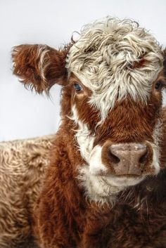 a very handsome cow