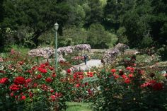 Morcom Rose Garden.  A sweet place to take a stroll or sit and read.  A hidden oasis just off Grand Ave.  Located at 700 Jean Street in Oakland, CA. Open from dawn to dusk.