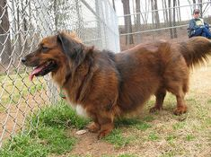 Corgi and Long Haired Dachshund Mixed Breed