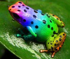 (Photoshopped) Rainbow Frog by AnthonyHearsey