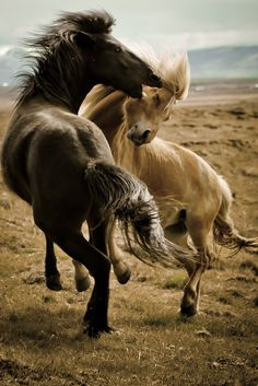 Icelandic Horses at Play-National Geographic