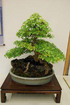 ~ Bonsai ~ This one must be pretty big ~