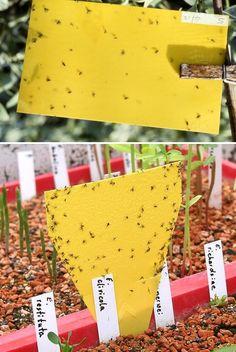 How To Kill Fungus Gnats