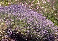 """Munstead Lavender in full bloom. About 18"""" , fragrant and robust, tolerates heat well. Looks freat planted with yellow or white roses. Edible. Zones 5 - 11"""
