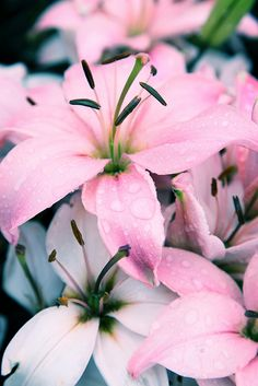 ✯ 'Memorial Day'  Pink Blush Lillies