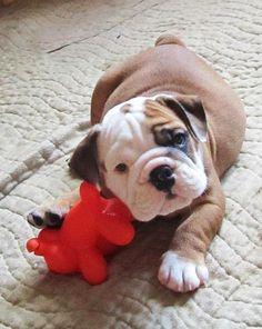 English Bulldog puppy ~ WorldofBulldog