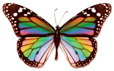 Real Rainbow Butterfly