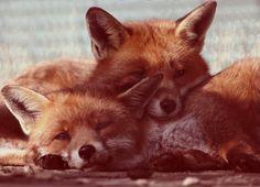 foxi, critter, wildlif, creatur, natur, foxes, red fox, animal, thing