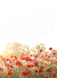 red, dreams, color, poppies, flower fields, flowers, mornings, light, garden