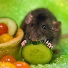 fanci rat, fancy rat, ador ratti, anim, pet, rodent, rats, pickl, cucumb