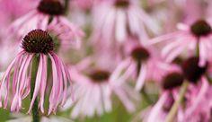echinacea-pallida.jpg 1,656×959 pixels