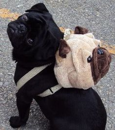 Nothing cuter that a pug wearing a pug (backpack). Unless there is a pug beanie baby inside.