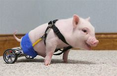 wheelchair piglet, pig fun