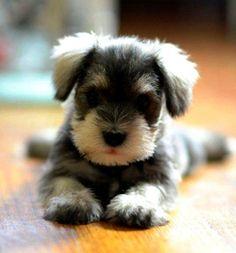 lovabl dog, schnauzer puppi
