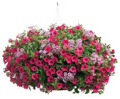I'm dreaming of Spring already! Supertunia, nemesia and Diamond Frost euphorbia make this hanging basket pot. Photo courtesy Proven Winners Plants.