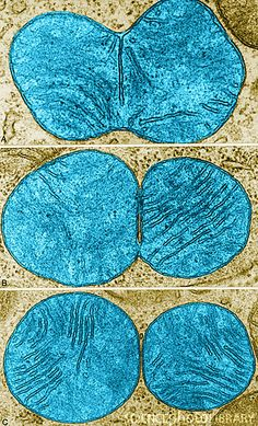 Stages of Mitochondrial Division, TEM