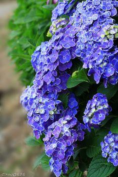 Blue Hydrangeas...love these!