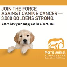 The Golden Retriever Lifetime Study aims to learn how to prevent cancer in dogs. We're looking for 3,000 purebred Golden Retrievers. Will you check it out?
