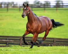 2011 Horse of the Year Havre de Grace enjoys her freedom at Taylor Made Farm in KY - Photo by Barbara D Livingston