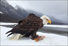 500px / Bald Eagle in the Chilkat Valley, Alaska by Matthew Studebaker
