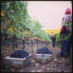 Napa Harvest at Ehler's Estate #napaharvest  #ehlersestate  #cabernetsauvignon  #harvest2013 #napavalley
