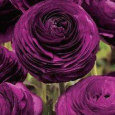 Dazzling purple ranunculus.