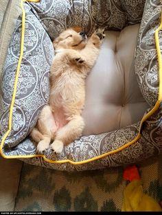 golden-retiever-puppy-enjoying-her-bed retriev puppi, puppi tummi, bed, puppi enjoy