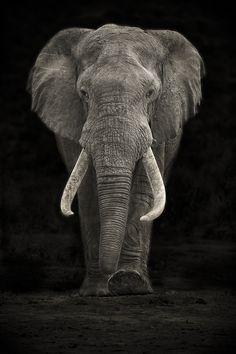 A large Elephant Bull (Loxodonta Africana) approaching Hapoor Dam in Addo Elephant National Park in South Africa's Eastern Cape #elephant #elefante #africa #safari