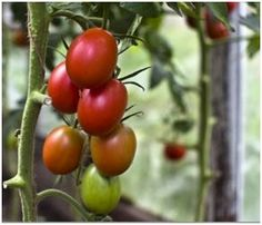Are you thinking of a garden greenhouse this season? Here are some free, do-it-yourself building plans and greenhouse growing guides that should help you plan and build it yourself.