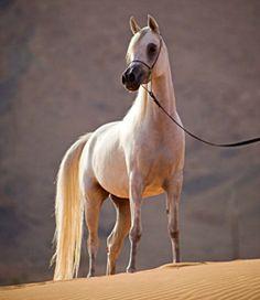 Arabian mare, Rashida Al Zobair.