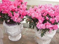 Gorgeous azaleas in the heavy urns