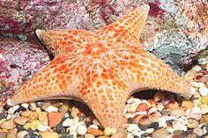 SEA STARS SPECIES | Leather Sea Star
