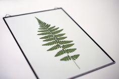 frame fern